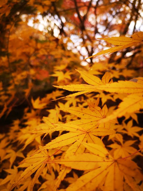 泉自然公園黄色の楓